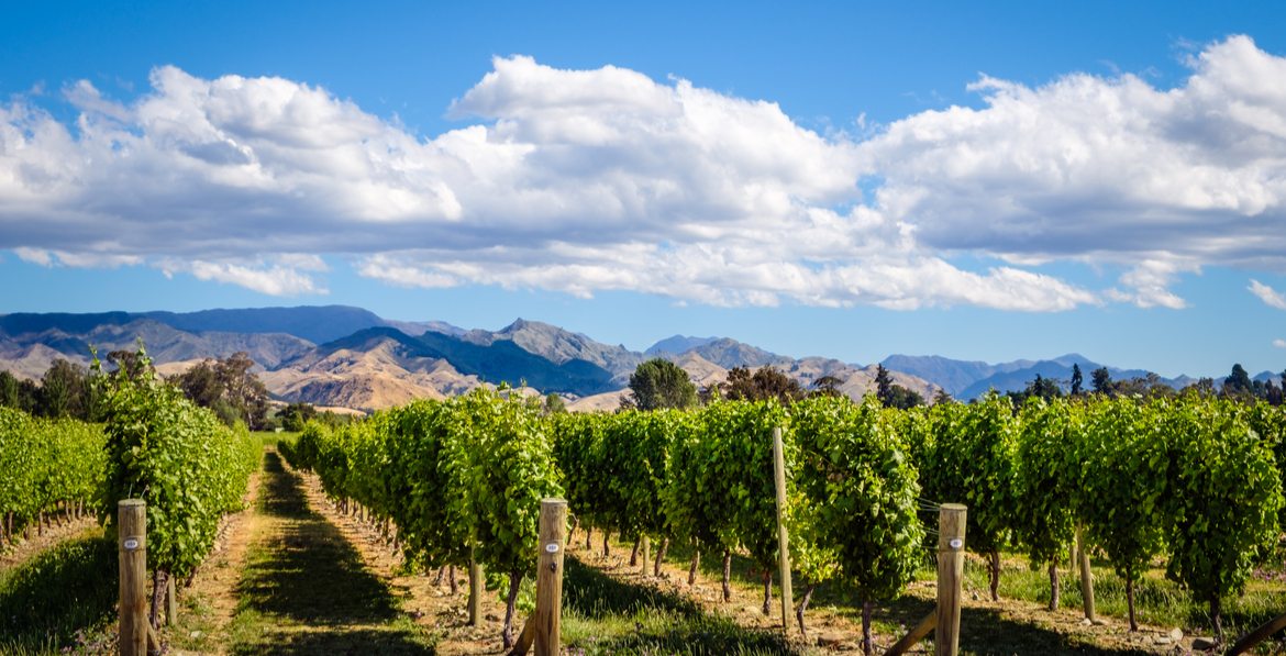 Vineyard in Marlborough